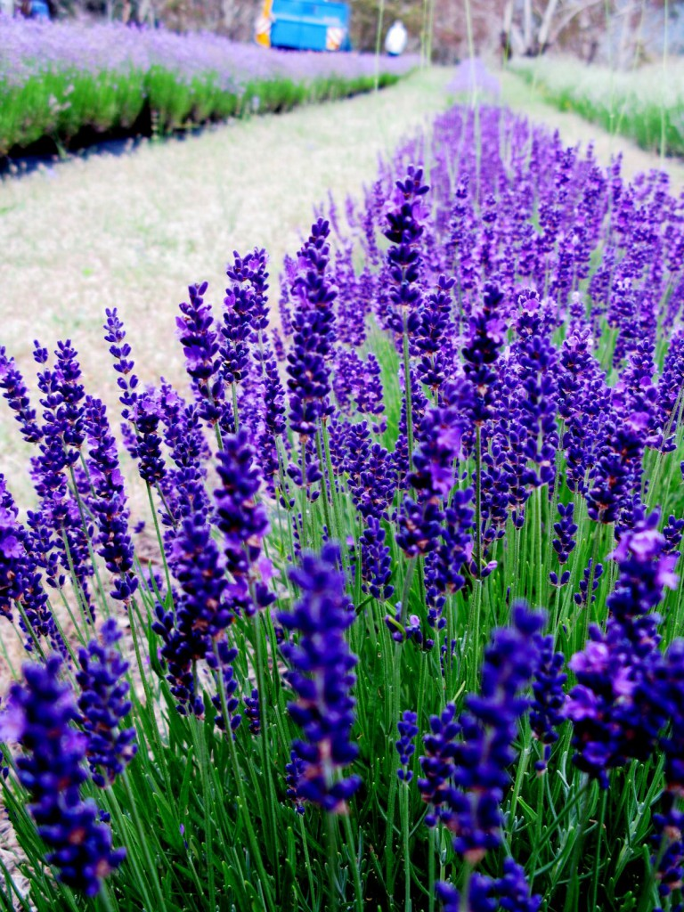 Lavandula angustifolia 'Hidcote Blue' in the field