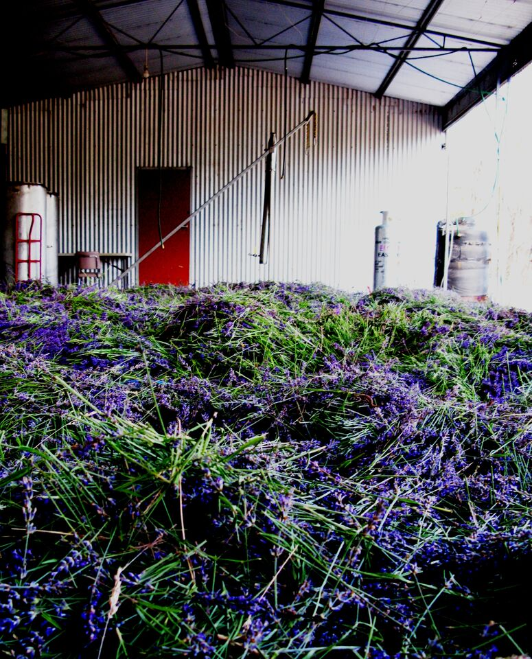 Cut flower, turned and aerated, fills the distillery shed ready for a day's distilling.