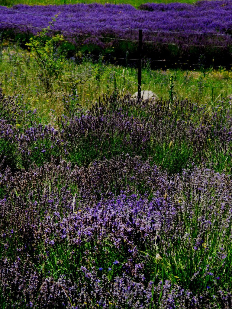 The genetic variation of seed grown lavender displays floral diversity. This is vividly highlighted against the bright uniformity in colour of the cultivar Maillette growing in the background of this eight year old 'Sponnee' planting (Fence Patch contains approximately 700 plants each different to the next).