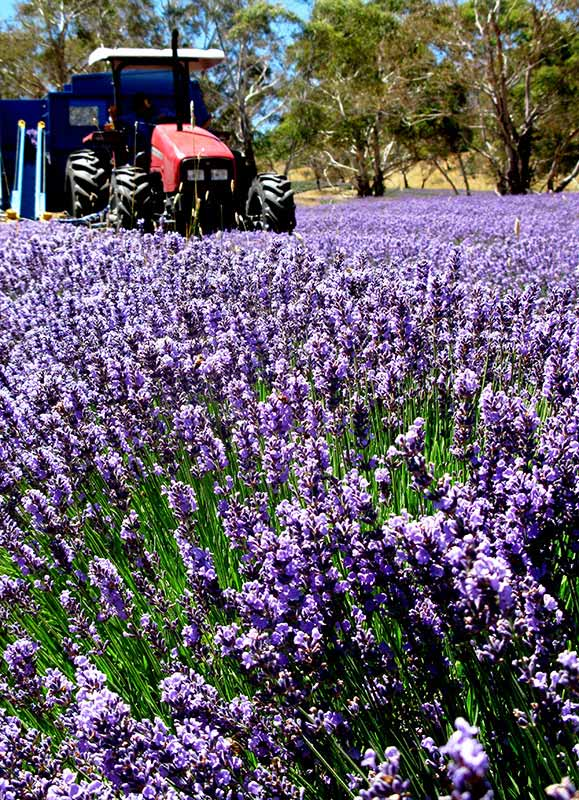 The bountiful and beautiful lavender cultivar, Avice Hill, consistently produces an essential oil which balances toward the ester compounds with low linalool content.  Avice Hill, summer 2013, being harvested from Roo paddock