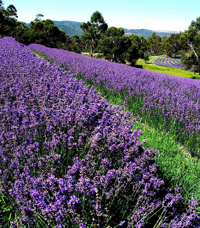 Pacific Blue is a vivid display of purple abundance at harvest time.  This lavender cultivar produces an essential oil which is balanced toward the alcohol compound linalool and has unusually high levels of terpineol-4-ol giving this lavender essential oil a definite monoterpenol character.
