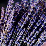 Dry Lavender Florets – L. angustifolia spp IMG 2
