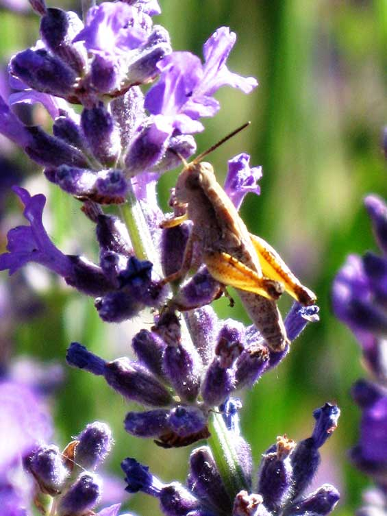 Wingless grasshoppers are plentiful in the lavender fields during the summer months. In a bio-diverse environment they do no harm and while I am sure there is a good reason for their attachment to this plant it often seems like they just enjoy the smell. Insects are very much part of a balanced farm ecology, they are food for reptiles, birds and small animals and then there are the bees whose benefits to our production are irreplaceable. Needless to say on an ecological farm insecticides are never an option.