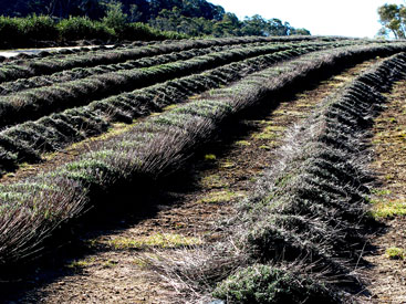 Lavender is dormant throughout the winter months and pruning is a significant farm activity at this time. Pruning, especially when the plant is young, is necessary to keep the plant compact, let sunlight into the plant and keep the flowering bountiful. Prunings are left on the paddock as mulch.