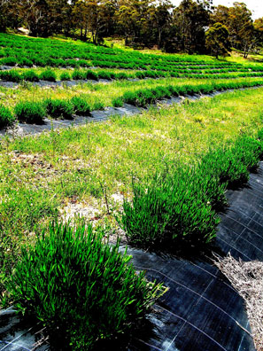 Mid spring sees the tawny winter lavenders transformed into lush green. By late November these bushes will have tripled in size with long stems and immature flower spikes. The grass between the rows is mowed allowing the sunlight to envelope the plant unimpeded.