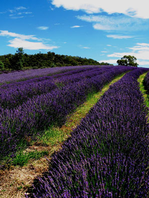Mid - summer, the lavender fields are transformed into the picture book version everyone is familiar with. Unfortunately at this point the flower is harvested and distilled for essential oil and the beauty is lost for another year.