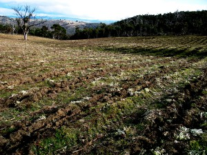 Minimum tillage and respecting vegative cover is a key tenant of 'living soil' approaches to farming. Excessive cultivation leads to the breakdown of soil structure which rapidly leads to compaction and infertility. 'Goat Valley' is our largest planting area and it came to us in degraded condition which we are working to restore. Cultivation for planting simply involves the deep ripping of the planting rows, spraying out of bio-dynamic preparations to encourage biological activity before the plants are settled in the rows for their life on the farm. Existing vegetative covered is retained between the rows as a permanent and living source of organic matter above and below the soil surface.