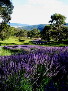 At the height of summer, lavender, presents as a river of purple meandering thru Majesse Valley. It highlights how lavender as a crop binds within a more comprehensive and fully developed landscape. Planting within the contours of the land works to naturally hydrate the field but also shows where in the valley lies the suitable free draining soil necessary for a dry land herb such as lavender. This valley could never be fully planted out because the valley floor is the dense peat like soil of a wetland, while the valley slopes are the sandy loam lavender desires.
