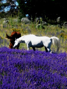 The lavender exists as part of the broader farm ecology and life. Animals, birds and insects are constants in the lavender plantings. Here the lavandin, 'Riverina Allan', grows in vivid glory in 'Stallion Paddock', a field still used intermittently by our horses. This photo depicts Doc and Sonata nonchalantly grazing between the rows, but it could just as easily be a mob of Eastern Grey Kangaroos; a flock of wood ducks; a wombat; a herd of fallow deer or wild goats. All benefit from and contribute to the cycle of life which is our farm.