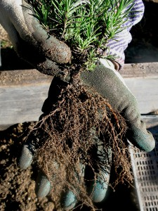 The root system, on this 12 month old lavender seedling, displays the fine network of soil feeder roots so critical to soil life. It is these fine roots, as they perpetually grow and die which both, feed the soil biology living amongst them to create humus; but also create soil structure as a constantly changing network of aerobic channels. As Biodynamic pioneer Alex Podolinsky presents without these aerobic channels, soil loses its architecture, its form, like a building reduced to rubble. Structure is as much the space between as it is the material which defines it. It is more than a sum of its parts. (Ref. Biodynamic Intro Lectures Vol 1 p. 21)