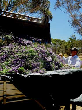 Ben's skill as a Bobcat operator is put to good use loading the truck with lavender.