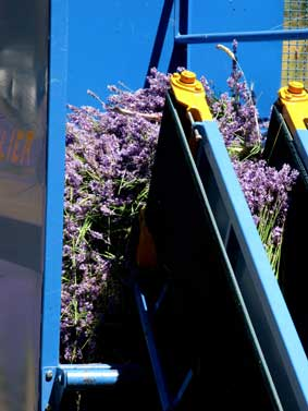The conveyor moves cut flower into the hopper