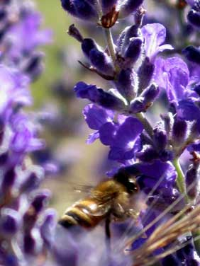 Insects are abundant in the summer fields of lavender and play a crucial role in the timing of harvest