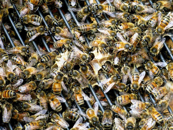 There are tens of thousands of worker bees in a healthy hive each one with its job to do in maintaining the productivity and sustainability of the hive as an organic entity. One cannot help but respect this innate sense of industry these tiny creatures have.