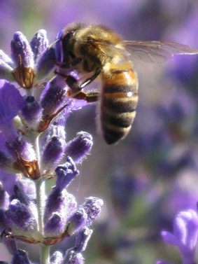 A bee on a 'bee' – our premiere lavender cultivar is called Bee, here is a spike of this plant with one of our honeybees taking nectar from it's flowers