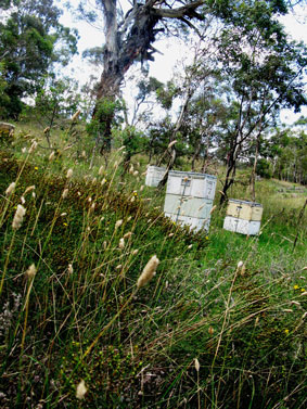 Hives at Snowy River Lavender - the bottom box is the brood box where the queen and bee nursery resides. The top boxes are called honey supers where the worker bees hoard their honey.