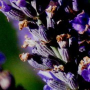 Lavandin Essential Oil – L. x intermedia Grosso  IMG 4