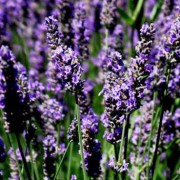 Lavender Essential Oil – L. angustifolia Avice Hill  4