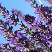 Lavender Essential Oil – L. angustifolia Bee 4