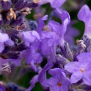 Lavender Essential Oil – L. angustifolia Cookie 4
