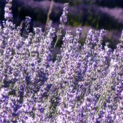 Lavender Essential Oil – L. angustifolia Foundation  4