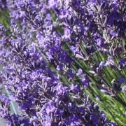 Lavender Essential Oil – L. angustifolia Maillette 4