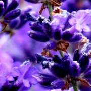 Lavender Essential Oil – L. angustifolia Pacific Blue4
