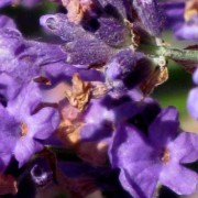 Lavender Hydrosol – L. angustifolia Avice Hill 4