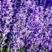Lavender Hydrosol – L. angustifolia v. Maillette 4