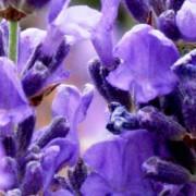 Lavender Hydrosol – L. angustifolia v. Pacific Blue 4