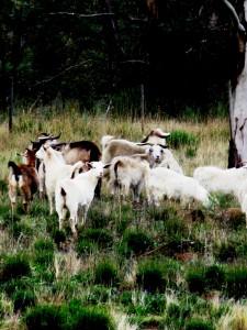 Goat Valley