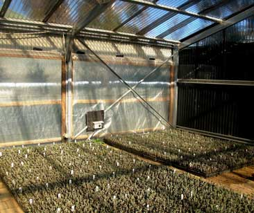 Lavender cuttings on sand covered heat mats awaiting root development.
