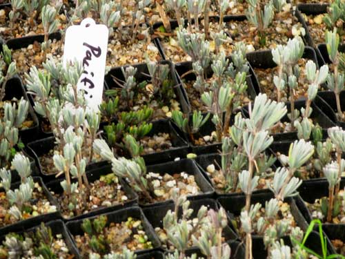 Newly potted cuttings of lavender cultivar, Pacific Blue