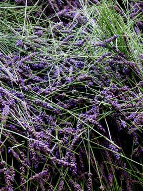 Fresh cut lavender flower ready for distillation
