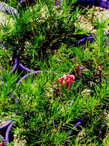 Grevillea rosmarinafolia, is a favourite hedging plant. It attracts nectar feeding wildlife