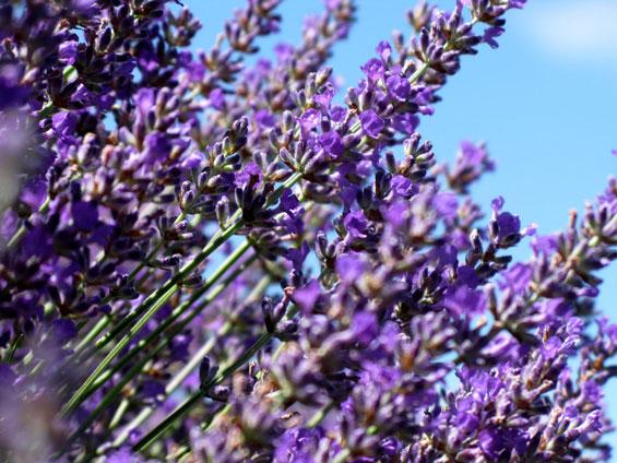 Our premiere lavender cultivar, Lavandula angustifolia Bee