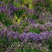 Population Lavender Essential Oil  4