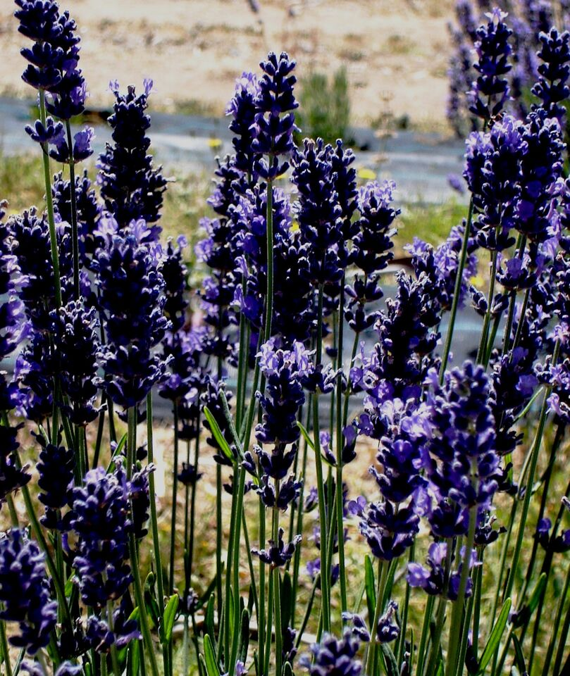 'Sponnee' – 'Pacific Monster', named because of it dominant size in the row of seedlings. This plant shows evidence of cross pollination between the cultivars Bee and Pacific Blue. Initial phyto-chemical testing validates this assumption, with genetic markers of both these lavenders evident in the balance of chemistry.