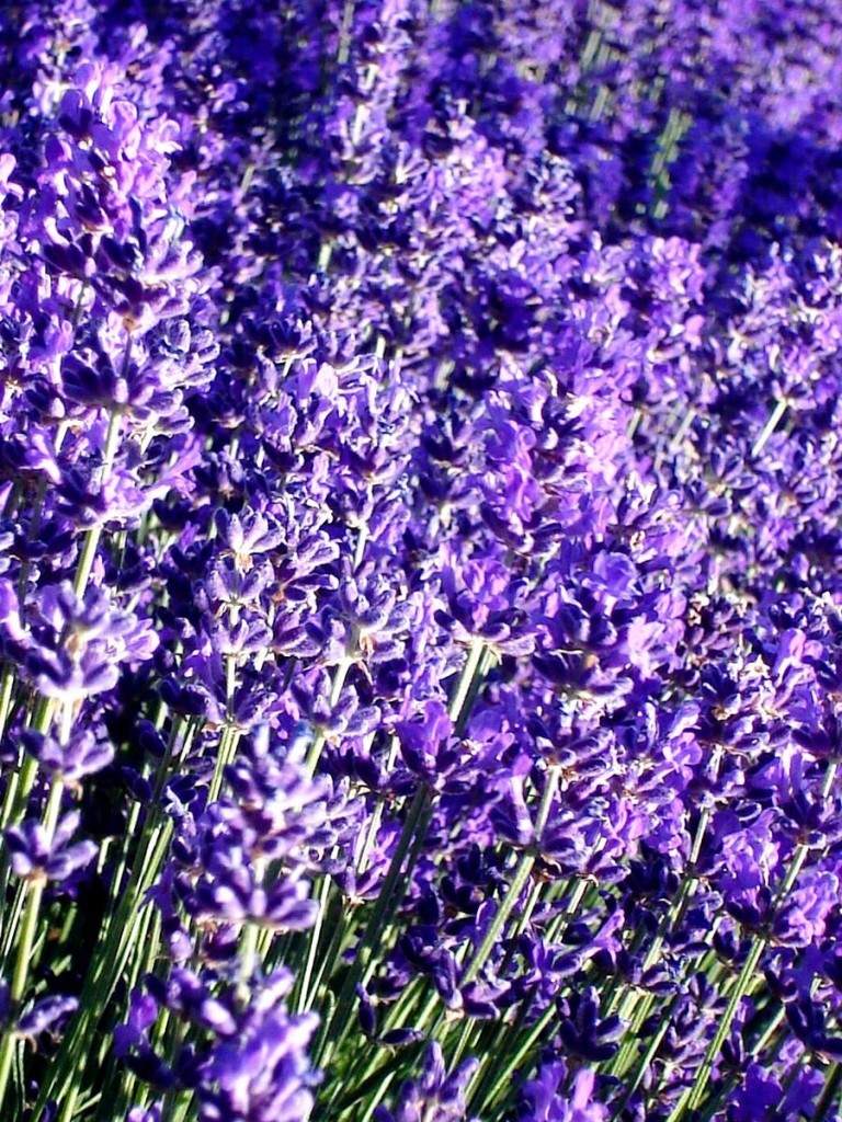 Lavandula angustifolia 'Twickle Purple' in the field